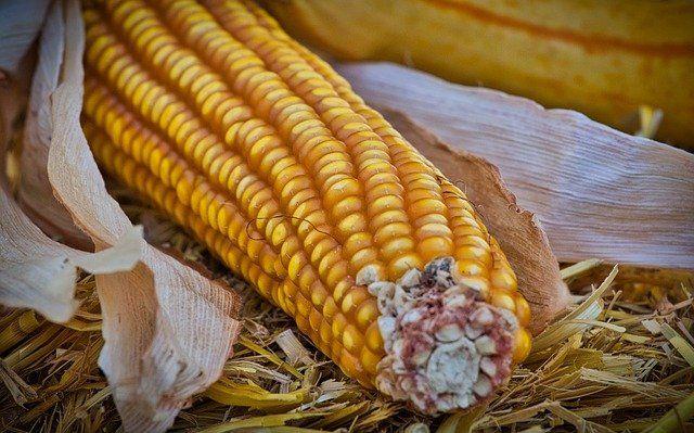 Branje, sušenje i  skladištenje kukuruza