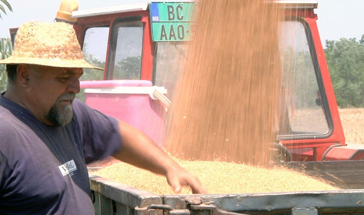 U Mačvi pokislo žito