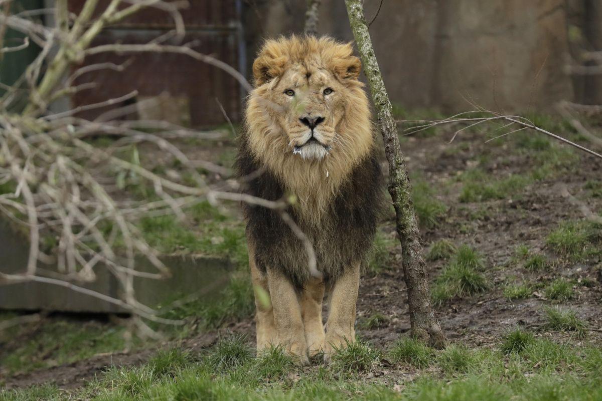 Лавови у Јужној Африци појели ловокрадицу
