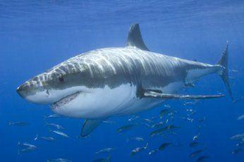 Лекар у Аустралији ударио ајкулу песницом у нос и одбранио се