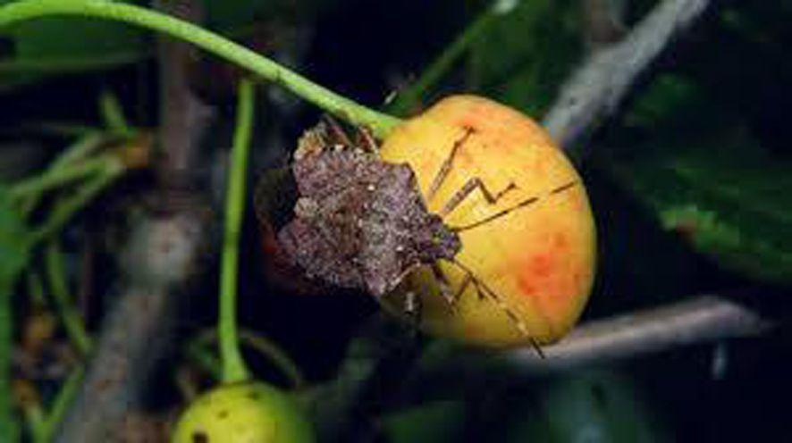 Смањен принос и квалитет плодова