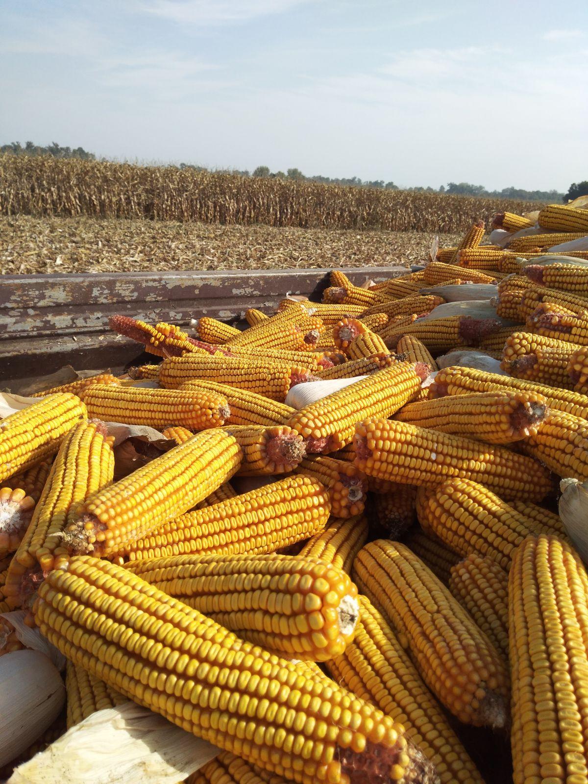 U Mačvi rekordni prinosi kukuruza