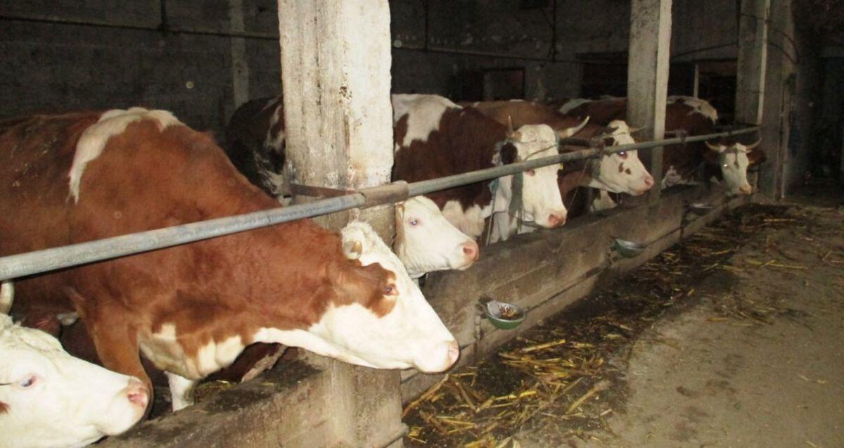 Farma krava Ljubanića na 0