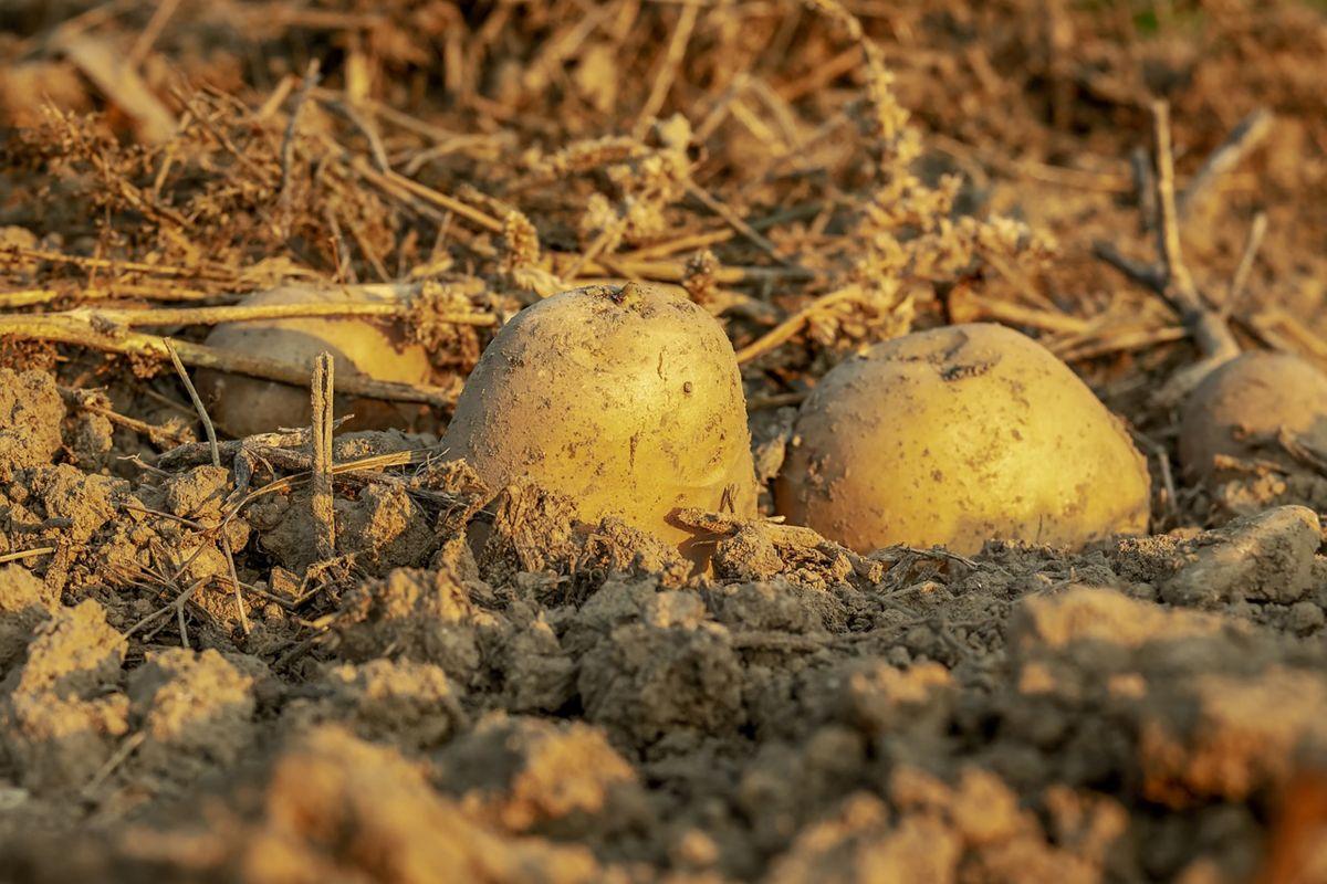 Агротехничке мере у усеву кромпира