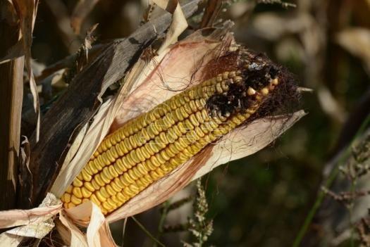Kiša spasla ovogodišnji rod kukuruza