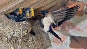Такмичење за домаћинство са највећим бројем ластиних гнезда