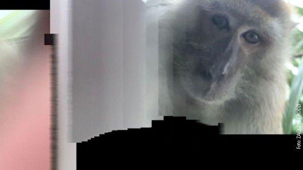 Majmun ukrao studentu telefon pa pravio selfije