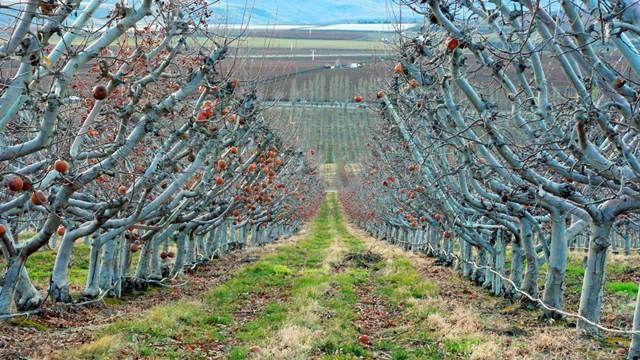 Jesenja zaštita voćaka - plavo prskanje