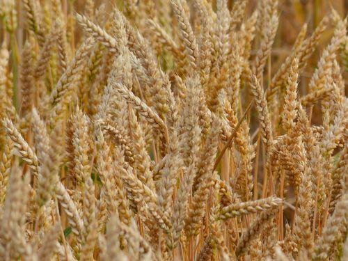 Слаба потражња за пшеницом