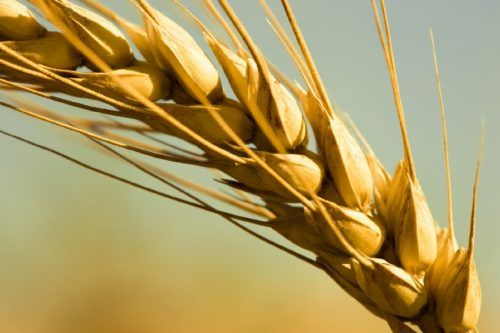 Korona podstakla rast cene pšenice