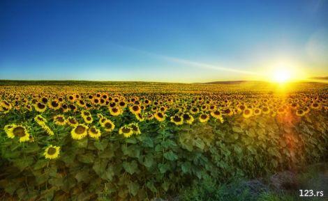 Poljoprivrednici nezadovoljni najavljenom cenom suncokreta