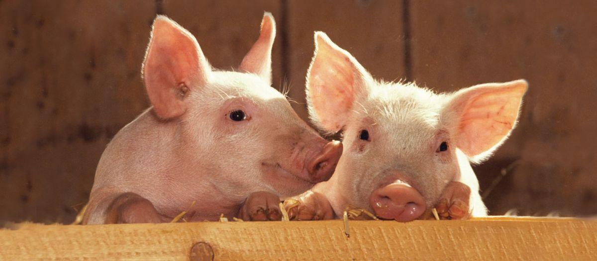 Vakcinacija protiv klasične kuge svinja ukida se 1. oktobra