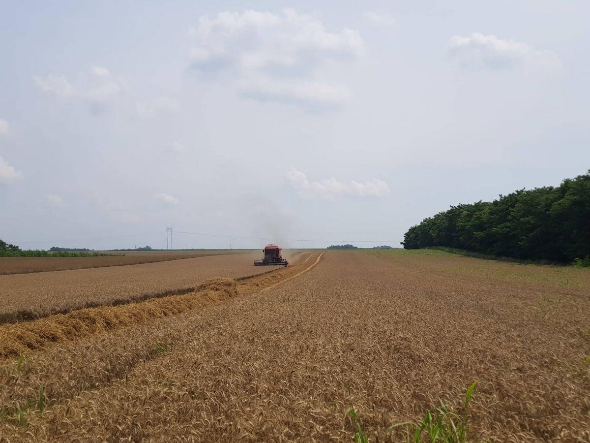 Мачвански жетеоци незадовољни ценом пшенице
