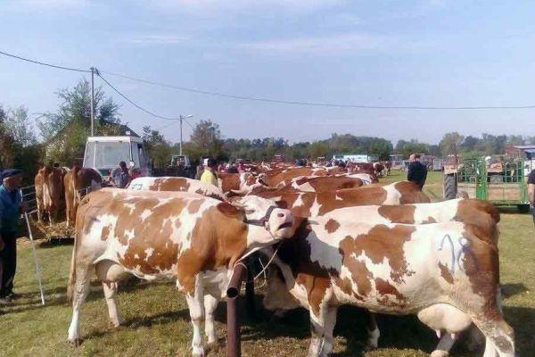 Izložba umatičenih grla krava simentalske rase i ovaca