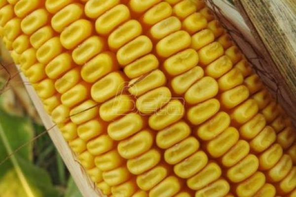 Proizvođači i stručnjaci: Rod kukuruza manji do 50 odsto