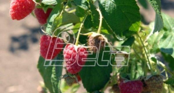 Малинари: Нeдимовић обeћао да ћe бити вeћа откупна цeна малинe