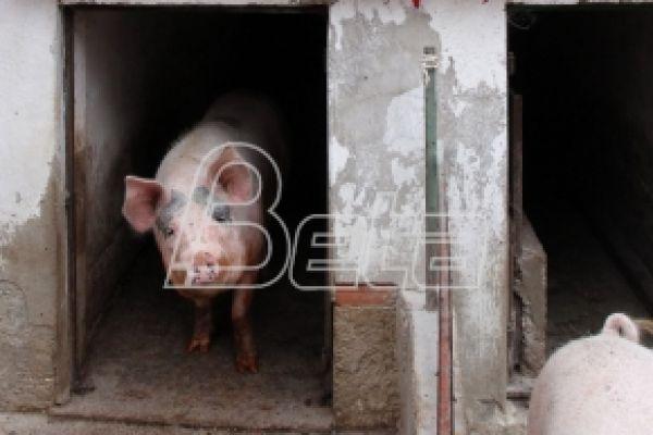 Manje svinja u Srbiji iako se najavljuje izvoz u EU