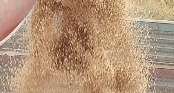Pšenica naglo sazreva