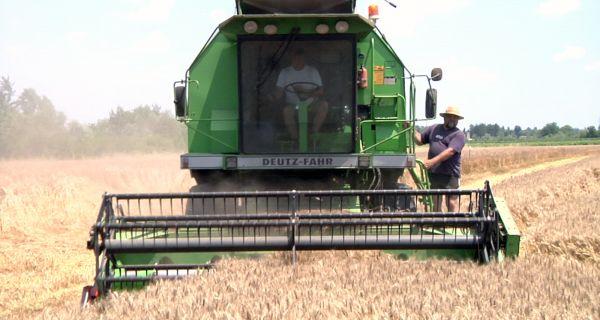 Приноси пшенице обезбеђују сигурност