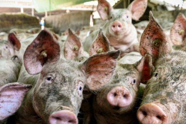 Obeležavanje mesa i nacionalna strategija razvoja svinjarstva