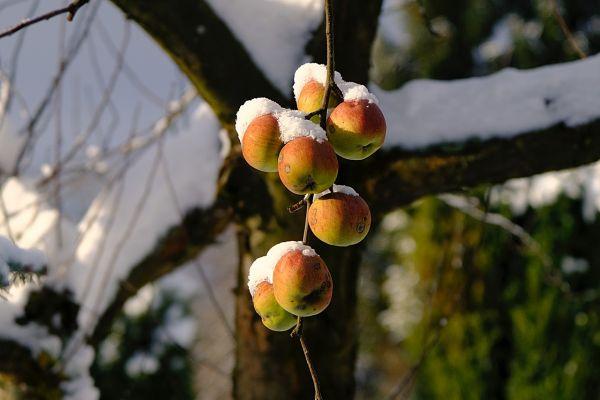 Stručnjak za voćarstvo: Sneg može da polomi voće, ali ga čuva od mraza