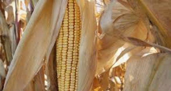 Kukuruz, soja i suncokret u padu