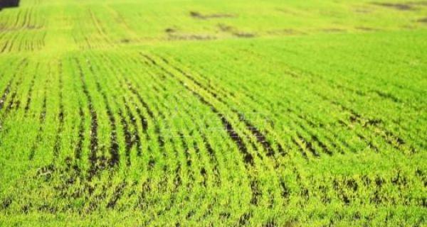 Пшеницом у Србији засејано 430.000 хектара, а неопходно 500.000
