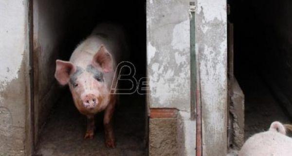 Afrička kuga svinja pod kontrolom u Srbiji, nema odlaganja prestanka vakcinacije od klasične kuge