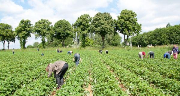 Мањак сезонских радника у пољоприведи подиже цену наднице