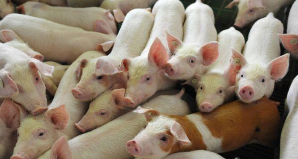 Naučni institut upozorava da suzbijanje afričke kuge svinja otežava nepromišljenost