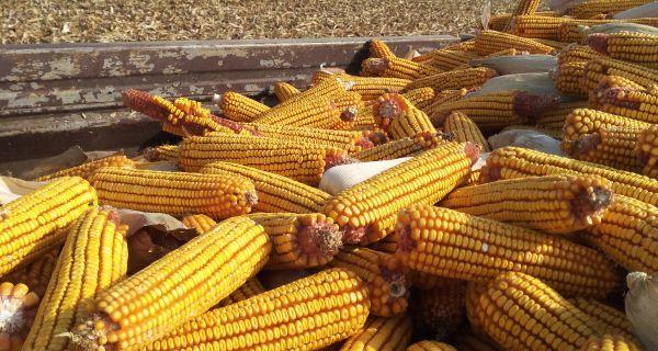 У Мачви рекордни приноси кукуруза