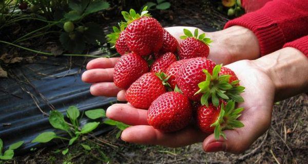 Siva trulež kao problem u zasadu jagode