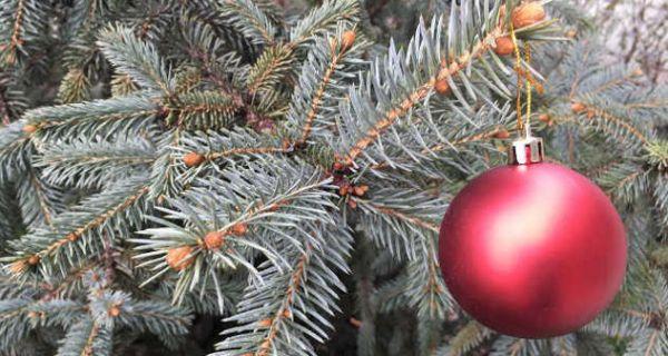 Удомљавање новогодишње јелке