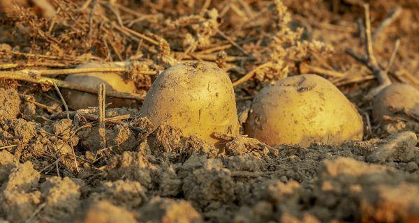 Agrotehničke mere u usevu krompira