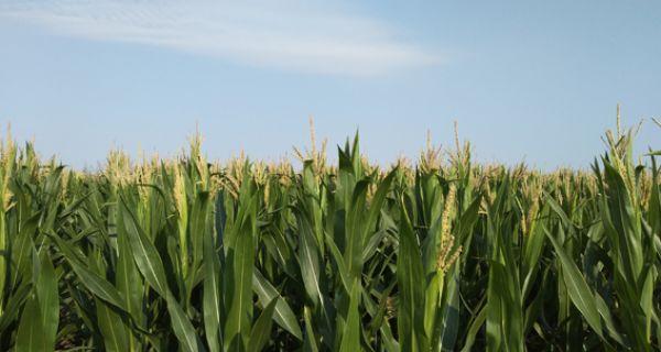 Пшеница избегла најгоре