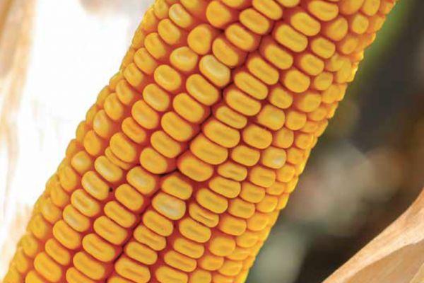 Nedostaju najprodavanije sorte kukuruza