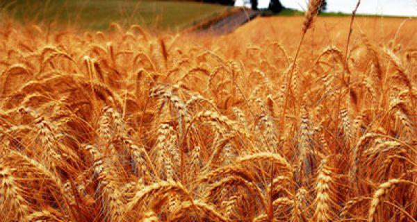 Извоз пшенице из Србије у Египат
