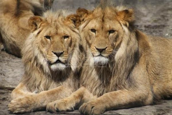 Горила и два лава у зоолошком врту у Прагу позитивни на ковид 19