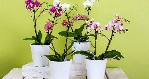 Plantella брза и једноставна прихрана лепотица