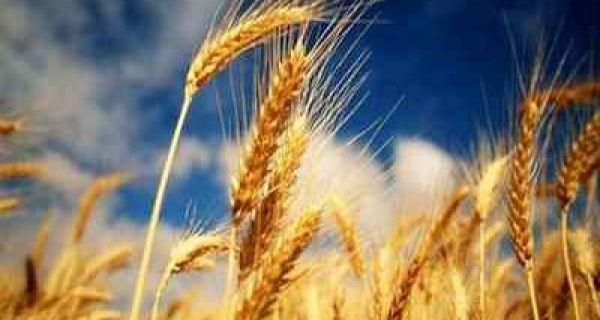 Први изданци пшенице на њивама на територији Прокупља више нису угрожени од јутарњег мраза