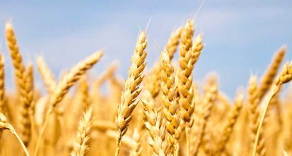 Na Produktnoj berzi prodato 17.000 tona pšenice za Republičke robne rezerve