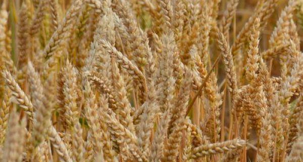 Slaba potražnja za pšenicom
