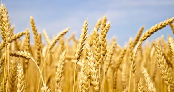Снег добро дошао тек изниклој пшеници, а и оној касније засејаној