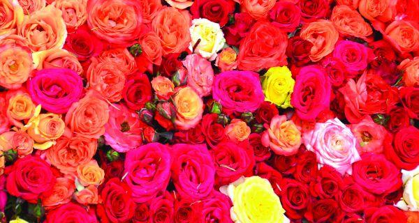 """Počinju """"Ruže Lipolista"""""""