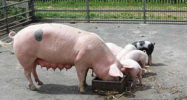 Министарство пољопривреде разматра постепено укидање вакцинације против класичне куге свиња