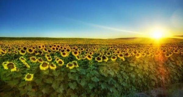Пољопривредници незадовољни најављеном ценом сунцокрета