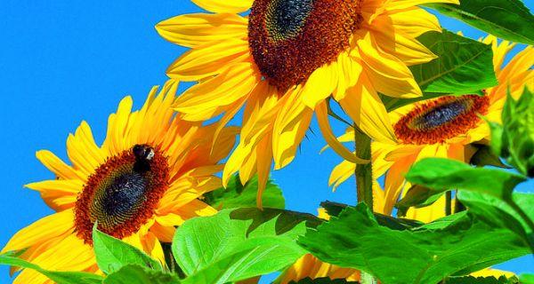 Сетва  сунцокрета  у Мачви