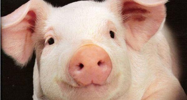 Свиње поново калирају