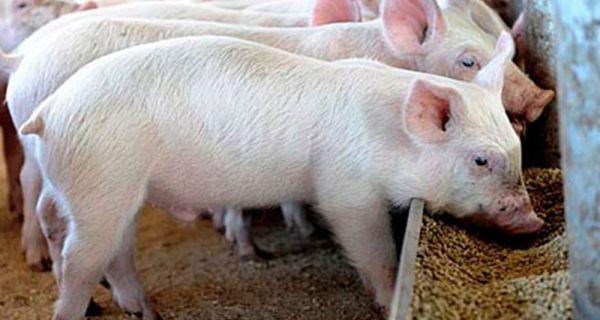 Србија забранила увоз хране животињског порекла из Мађарске због појаве афричке куге свиња
