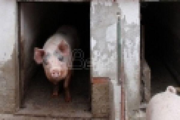 Poljoprivrednici: Srbiji preti krah stočarstva